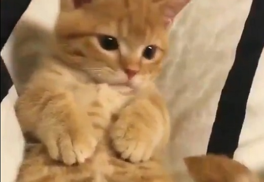 【かわいい】自分のしっぽが気になる猫ちゃんの動画が話題「自分のなのに(笑)」