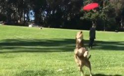 【動画】フリスビーキャッチする犬のジャンプ力にびっくり!カメラ目線ドヤ顔もかっこいい!