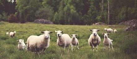 【躍動感】羊がるんるんで走ってくる様子がめちゃ可愛い!何回も見てしまう