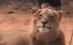 【動画】飼い主をからかってドヤ顔するライオンが話題「すごい笑顔(笑」