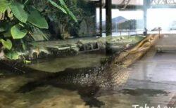 【まるで恐竜映画】大型ワニが鳴いた瞬間の動画が話題。地面が振動し水面まで揺れる!