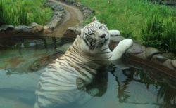 【大きな猫】池でのんびり涼みながらばっちりカメラ目線のホワイトタイガー。可愛さしかない!