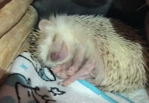 【動画】安心しきって眠るハリネズミがかなり可愛い!