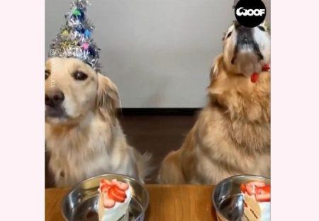 【はやっ!】ケーキの前でおりこうに「マテ」してるわんちゃん。よしって言われて・・