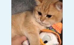 【動画】お気に入りのぬいぐるみを大事にする猫ちゃんが可愛い!