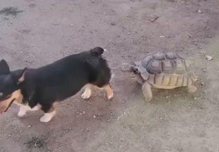 【トコトコトコ】犬を追いかけまわすカメが話題。すごく好きみたい!