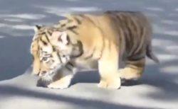 【動画】トテトテ歩くトラの赤ちゃんが完全に猫と話題
