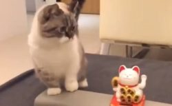 【笑】動く招き猫をまじまじと見つめる猫さん。真似をしはじめる
