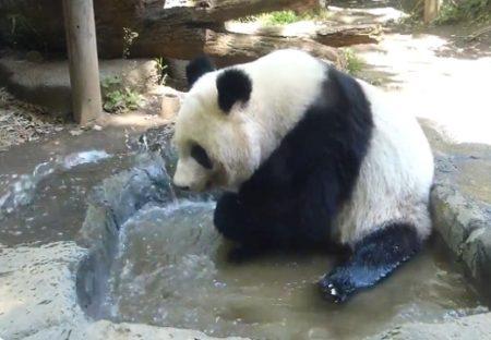 【動画】嬉しそうに水浴びするパンダが話題に「水浴びなのか水撒きなのか(笑」