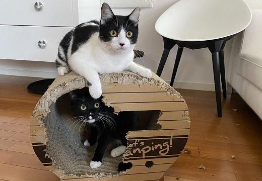 【笑】藤あや子さんの猫ちゃん達、斬新なリフォームをやり遂げた顔がかわいい