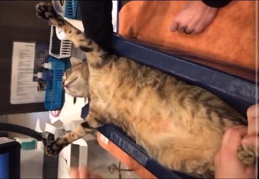【デーン】検診で触られまくっても微動だにしない猫ちゃん。堂々としてカッコイイ!