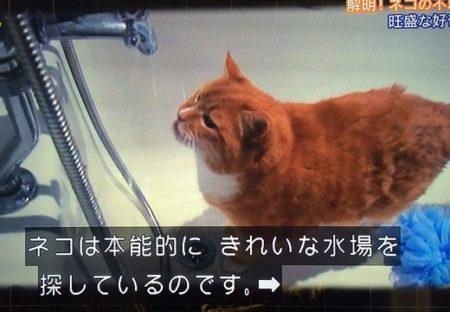 【びっくり】猫が家の水場に行きたがる理由が判明!本能ってすごい!