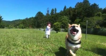【解禁】数ヶ月間の「ドッグラン自粛」が明けた柴犬くんの走りっぷり!