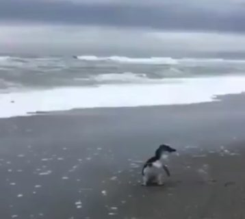 怪我が治り、海に帰るとき。名残惜しそうに振り返るペンギン!