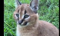 【カラカル】これは猫なのか?ピンと立った耳が可愛らしい!