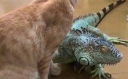 グリーンイグアナと猫ちゃんの珍しい絡み。スリスリが気持ち良い?
