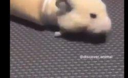 ハムスターが「液体」であることを証明する動画!