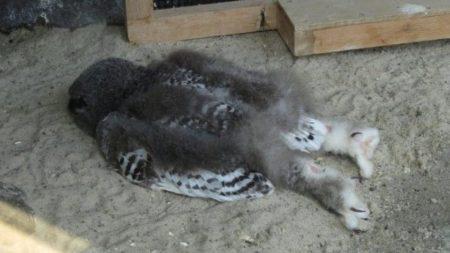 フクロウの赤ちゃんの「寝相」完全に寝落ちですね!