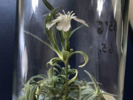 32000年前の「花」を再生するプロジェクトが凄い。ついに種が開花!