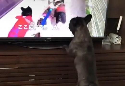 【VR?!】テレビの中の犬達といっしょに散歩してる気になっている犬が話題「歩調合せてる(笑)」