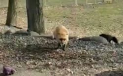 【動画】飼育員さんに猛ダッシュして甘えるキツネ。犬みたいと話題