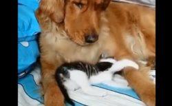 【動画】眠ってる犬を起こし全力で甘える子猫が話題「犬やさしい」「こんな事されたい」