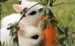 【動画】うさぎ2匹、仲良くニンジン食べる様子が可愛いすぎる!