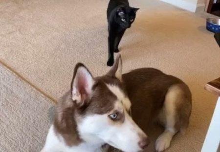 【彼女感】背後からハスキーに忍び寄る猫。とつぜん抱き着く様子がめちゃくちゃ可愛い