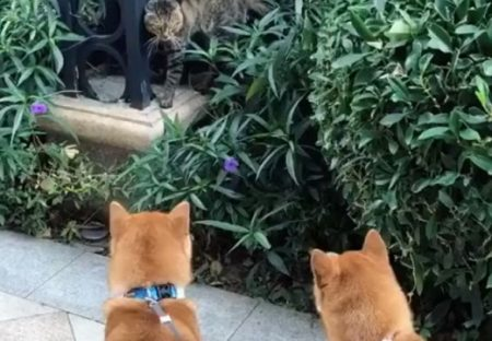 【笑】散歩中の犬2匹、猫に吠えまくったら・・・撃沈してしまう