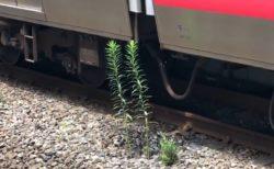 【停車位置の正確さ】線路沿い、電車のクーラーの水がちょうど当たる位置に生えた草。ものすごく成長する