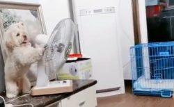 【さすが賢い】飼い主の様子を伺いながら自分で扉を開け、扇風機の向きを変え、ケージに戻り扉を閉める犬が話題