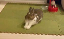 【ふぁ‥】ウサギがあくびをするだけの動画が話題「なんてかわいい‥」「可愛い過ぎ!!」