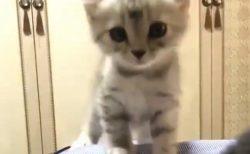 【こねこ】子猫がひたすら可愛い動画が話題「こんな子いたら出かけられない」