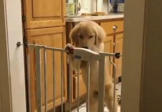 【賢い】立ち上がり自分で鍵を開錠する犬が話題「すっごく頭いい!」「よく見てる」