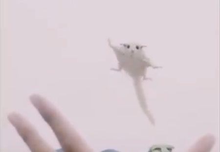 【動画】飼い主の手のひらめがけて飛んでくるモモンガが激かわ!