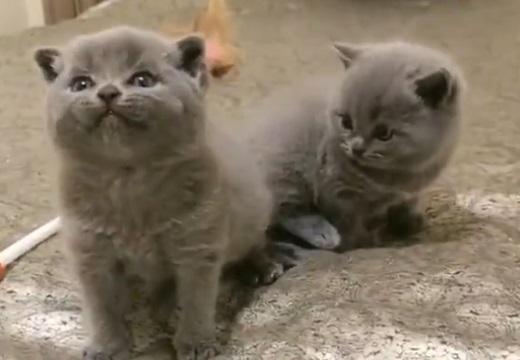 【動画】雄たけびをがんばってる子猫と、周りの子猫の反応が可愛い!