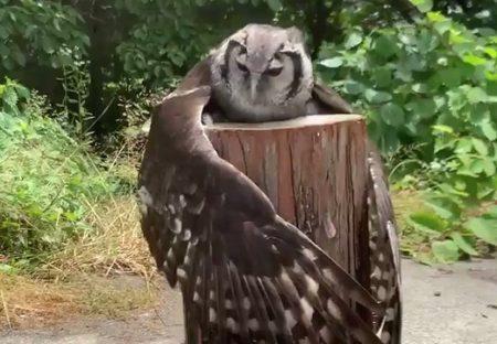 【動画】大きな羽を広げ丸太に抱きついているフクロウが話題「何してるの!?」