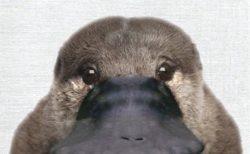 【びっくり】真正面から見たカモノハシが超絶かわいいと話題「初めて見た」