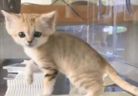 【動画】栃木の動物園にいる世界最小級の野生ネコ「スナネコ」の赤ちゃん。くるっと回る姿が可愛いすぎる!