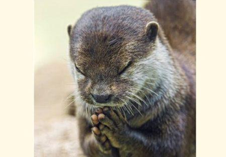 一生懸命お祈りしてるように見えるカワウソくんが話題。何をお願いしてるのかな?!