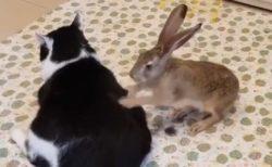 【笑】猫をマッサージするウサギ。すごい早業がまるで北斗百裂拳!