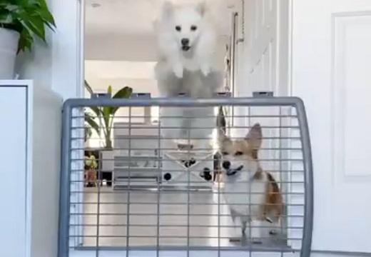 【笑】柵を軽々飛び越えていく犬と、残された犬・・むっとした表情が可愛いすぎ!