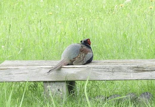【国鳥】公園のベンチに座ってくつろぐキジが発見され話題に「猫かと思った!」「桃太郎待ち」