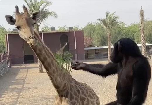 【笑】キリンに葉っぱを渡す猿と、もらって食べるキリンが話題