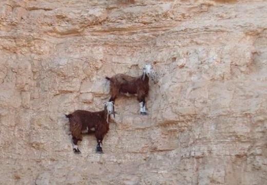 【高所】びっくりするような所まで登っていくヤギ達が話題