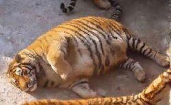 【w】まるまるコロコロした虎が話題「ええ?!」「可愛い」