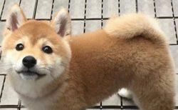 柴犬のかわいい動画像がたくさん!世界中で愛されるのも納得!
