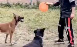 【動画】軍用犬の身体能力にネット騒然「背中からの横回転、めちゃカッコいい!」「興味なしの白い犬もかわいい(笑」
