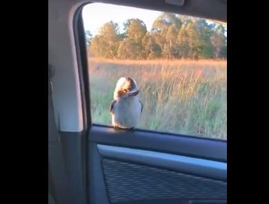 【ワライカワセミ】ドライブ中の窓に野生の鳥が。可愛すぎる!