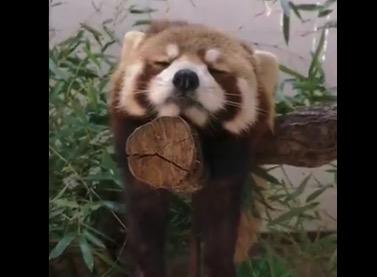 うとうとレッサーパンダちゃん。なんて可愛いのか・・・